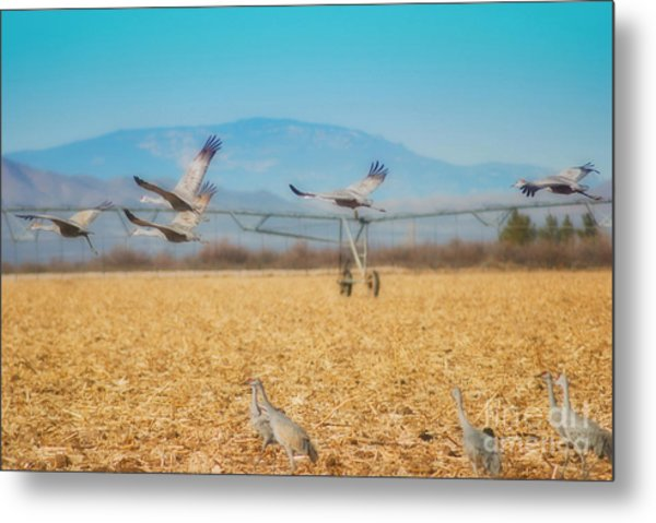Sandhill Cranes In Flight Metal Print