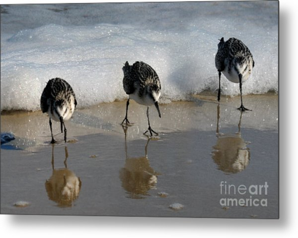 Sandpipers Feeding Metal Print