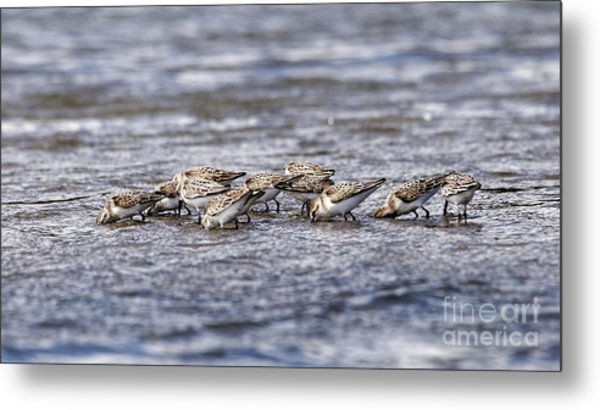Metal Print featuring the photograph Sandpipers Heads Down by Sue Harper