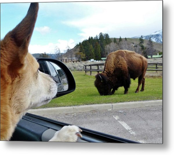 Buffalo Gazing Metal Print