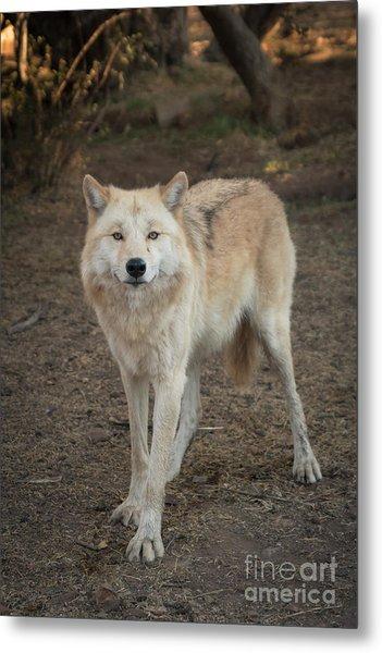Sassy Wolf Metal Print