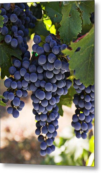 Sauvignon Grapes Metal Print