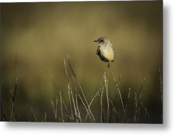Say's Flycatcher Metal Print