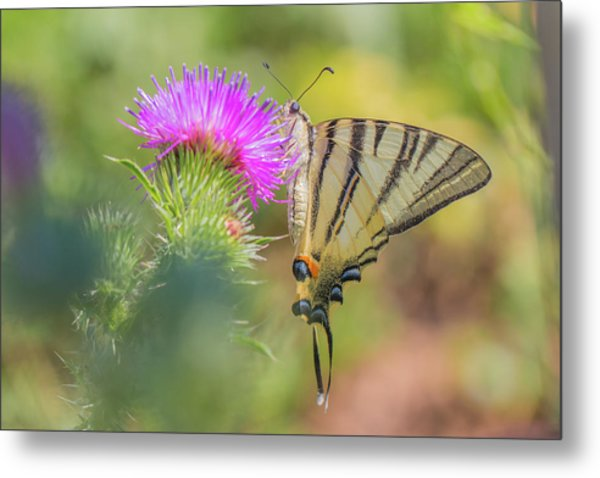 Scarce Swallowtail - Iphiclides Podalirius Metal Print