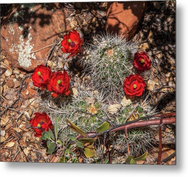 Scarlet Cactus Blooms Metal Print