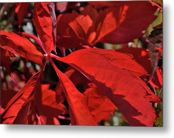 Metal Print featuring the photograph Scarlet Intensity by Ron Cline