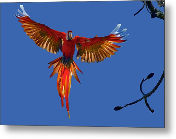 Scarlet Macaw On The Osa Peninsula Metal Print