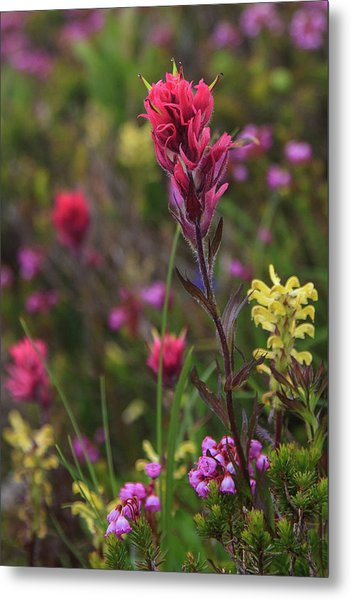 Scarlet Paintbrush Metal Print