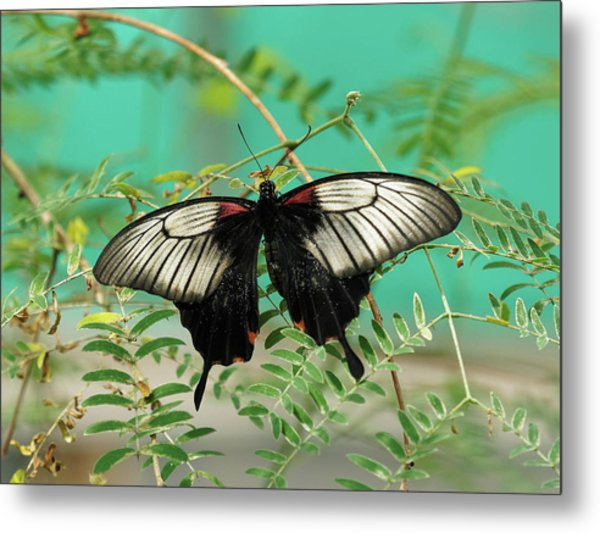Metal Print featuring the photograph Scarlet Swallowtail Butterfly -2 by Paul Gulliver