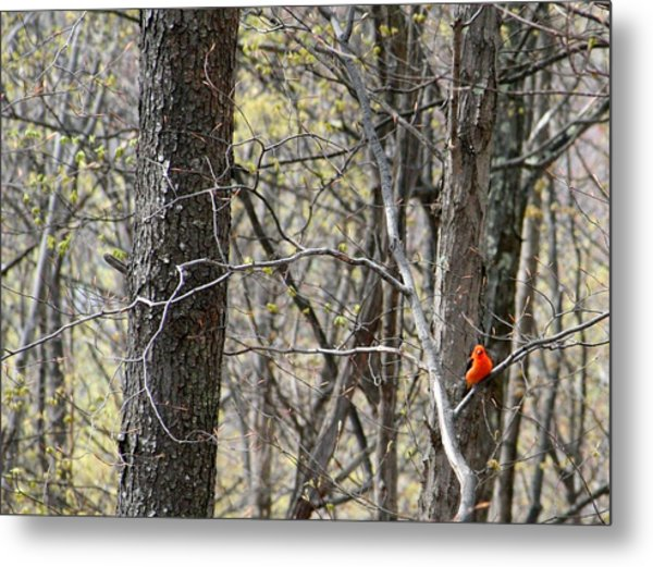 Scarlet Tanager Male Facing Metal Print by Donald Lively
