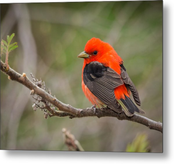 Scarlet Tanager On Branch Metal Print