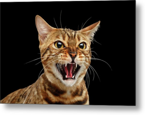 Scary Hissing Bengal Cat On Black Background Metal Print