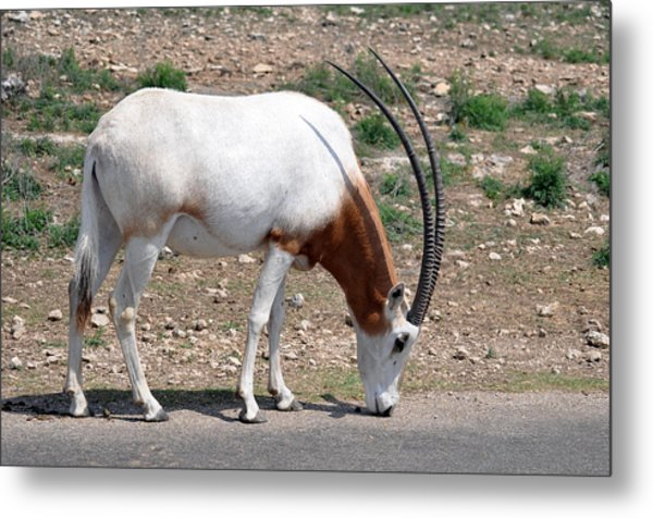Scimitar Horned Oryx Metal Print by Teresa Blanton