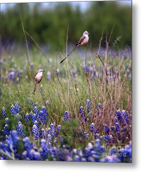 Scissor-tailed Flycatchers Metal Print