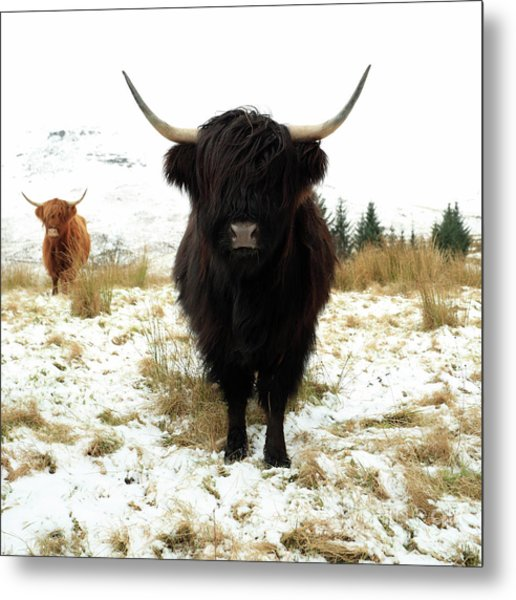 Scottish Black Highland Coo Metal Print