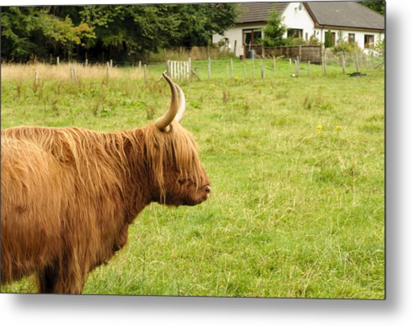 Metal Print featuring the photograph Scottish Cattle Farm by Christi Kraft