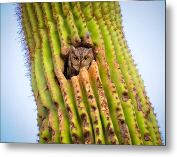 Screech Owl In Saguaro Metal Print