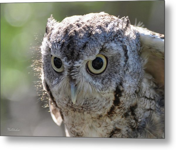 Screechowl Focused On Prey Metal Print