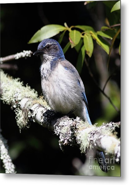 Scrub Jay . 7d6663 Metal Print by Wingsdomain Art and Photography