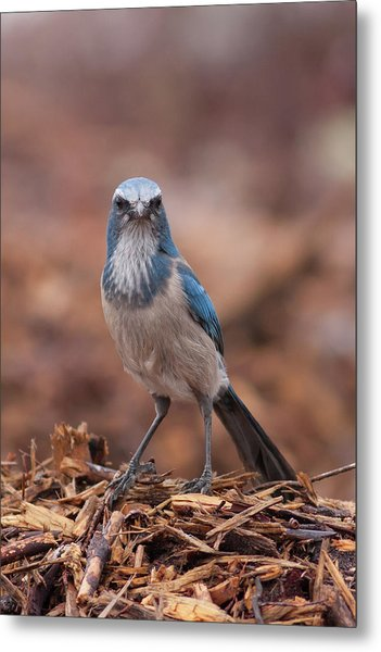 Scrub Jay On Chop Metal Print