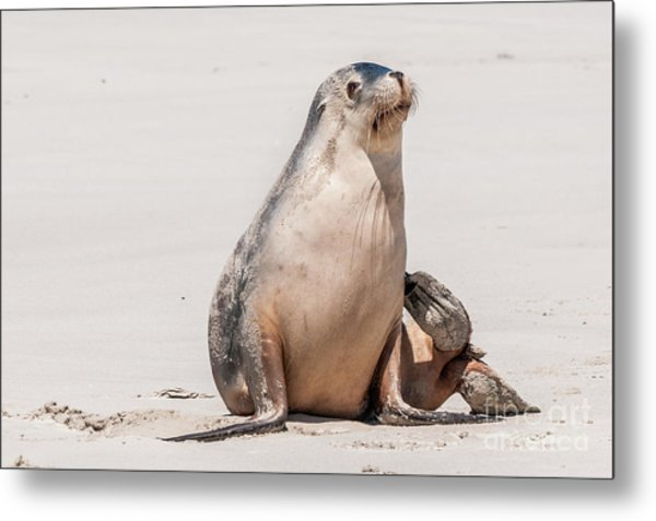 Sea Lion 1 Metal Print