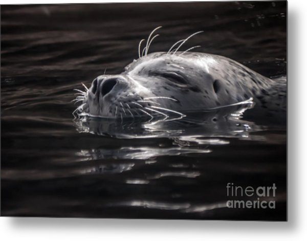 Sea Lion Basking In The Light Metal Print