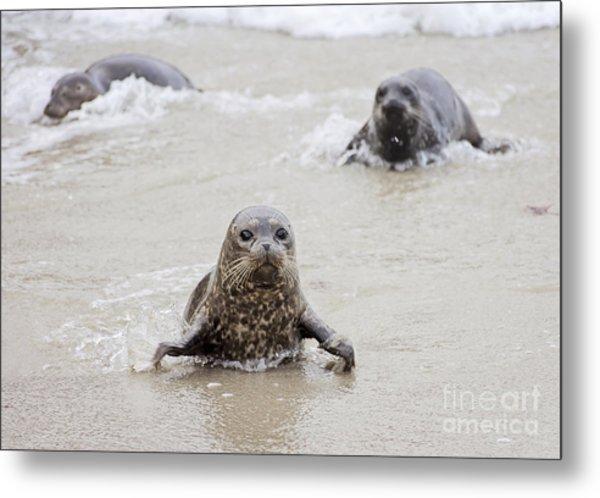 Sea Lion Pup Metal Print by Eddie Yerkish