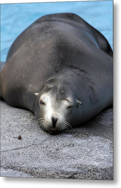 Sea Lion Snooze Metal Print