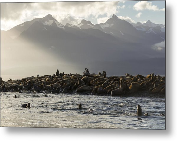 Sea Lions Basks In The Last Of The Days Metal Print