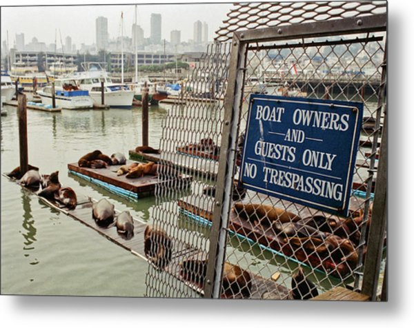 Sea Lions Take Over, San Francisco Metal Print