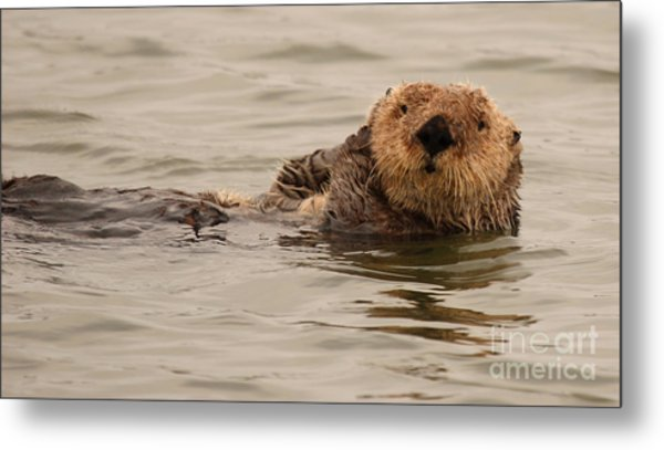 Sea Otter All Cuddled Up Metal Print by Max Allen