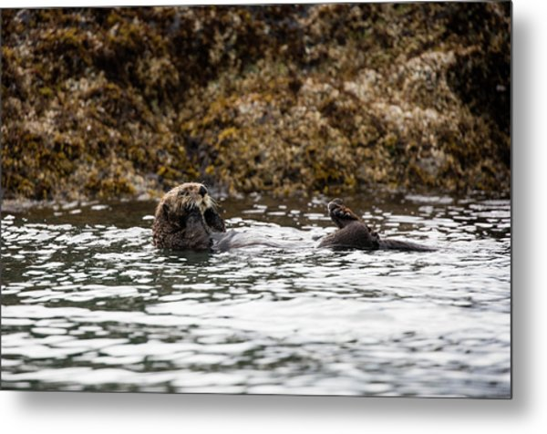 Sea Otter Floating In The Bay Metal Print