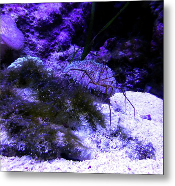 Sea Spider Metal Print