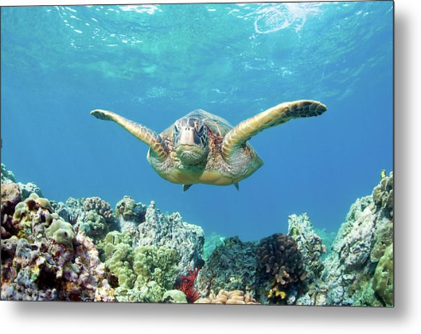 Sea Turtle Maui Metal Print