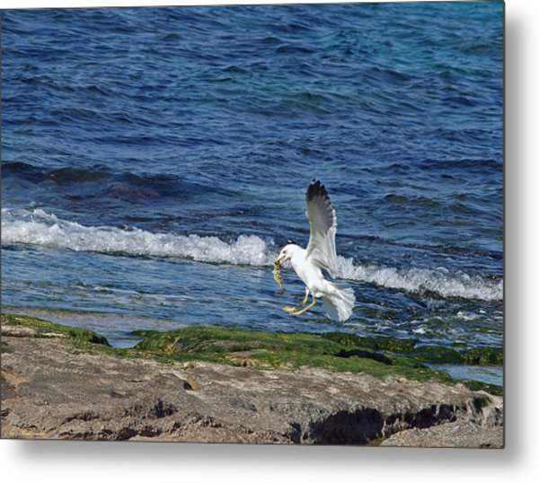 Seagull Metal Print by Arik Baltinester