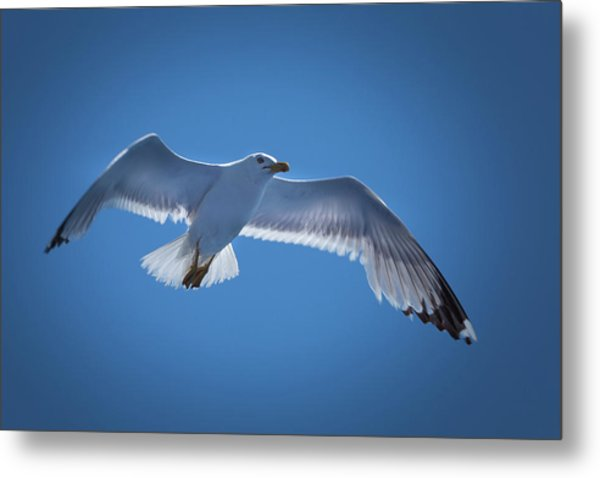 Metal Print featuring the photograph Seagull by Davor Zerjav