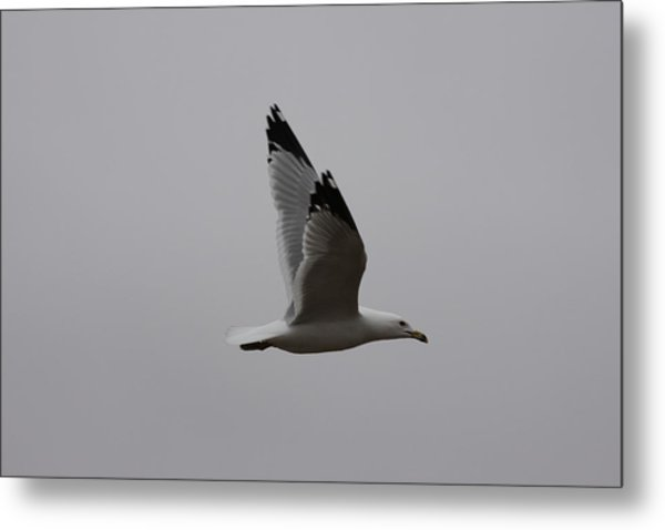 Seagull In Flight Metal Print by Richard Mitchell