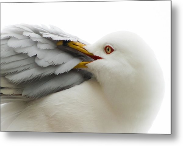 Seagull Pruning His Feathers Metal Print