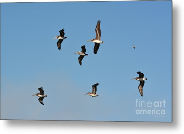 Seagull Soaring With Pelicans Metal Print