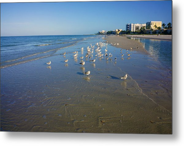 Seagulls And Terns On The Beach In Naples, Fl Metal Print