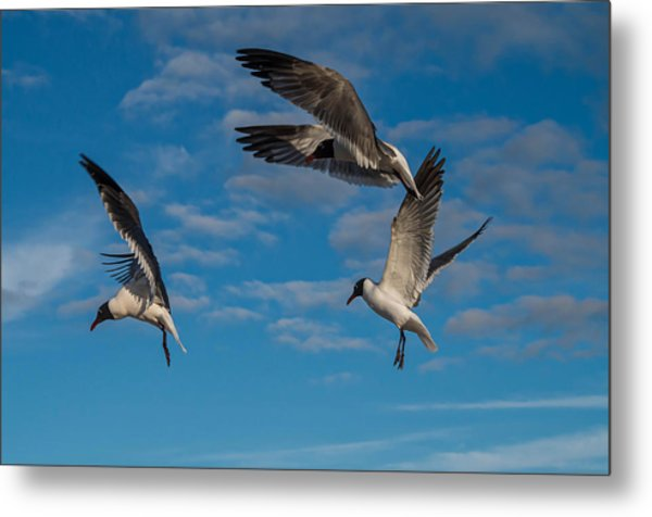 Seagulls In Flight Metal Print