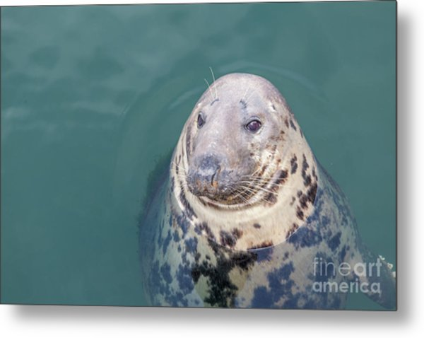 Seal With Long Whiskers With Head Sticking Out Of Water Metal Print