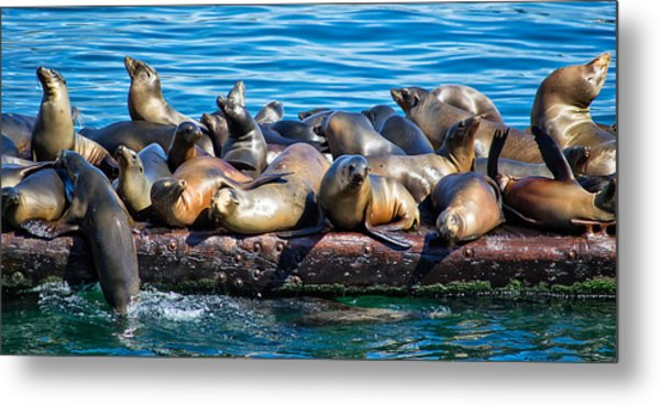 Sealions On A Floating Dock Another View Metal Print
