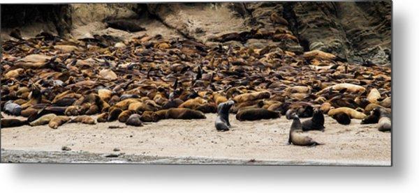 Seals And Sea Lions Metal Print