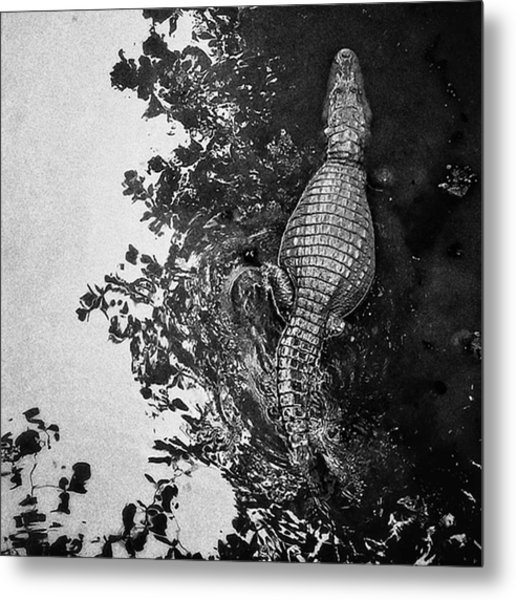 See You Later... #crocodile #alligator Metal Print