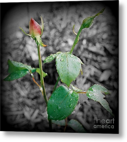 Selective Color Rose Bud Metal Print by Emily Kelley