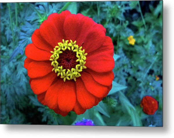 September Red Beauty Metal Print