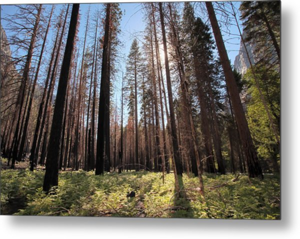 Sequoia Forest At Sunrise Metal Print by Rick Pham