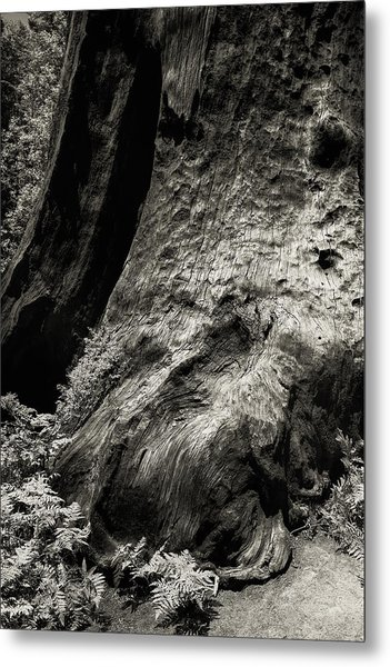 Sequoia With Ferns Metal Print