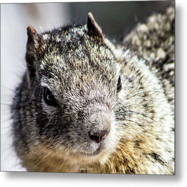 Serious Squirrel Metal Print